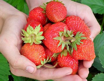 strawberries 5in 72dpi
